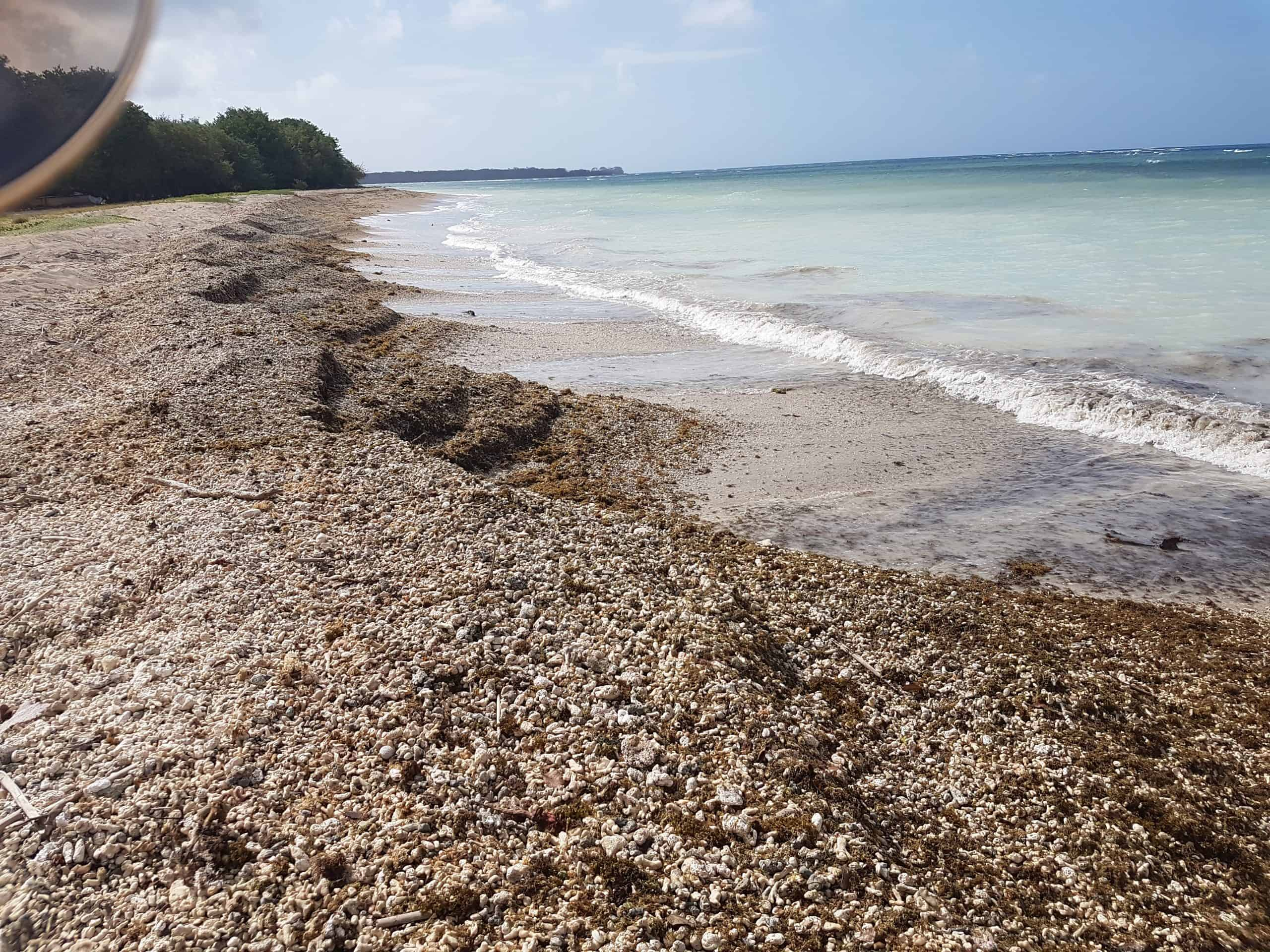 Sargassum in Pigeon Point Tobago